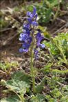 Photo 2/3 Salvia pratensis L.