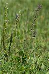Salvia verbenaca L. subsp. verbenaca