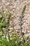 Photo 16/16 Salvia verbenaca L.