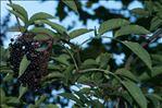 Photo 2/2 Sambucus nigra L.