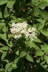 Sambucus nigra L.