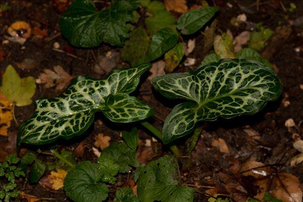 Arum italicum var. neglectum F.Towns.
