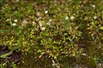 Photo 3/4 Saxifraga tridactylites L.