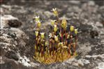 Saxifraga tridactylites L.