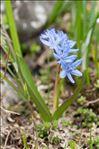 Scilla bifolia L.
