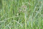Photo 2/2 Scirpus sylvaticus L.