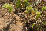 Scleranthus annuus subsp. verticillatus (Tausch) Arcang.