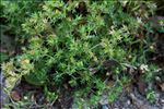 Photo 2/2 Scleranthus annuus L.