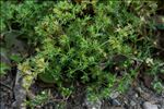 Photo 1/2 Scleranthus annuus L.