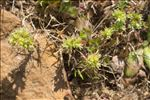 Photo 4/4 Scleranthus perennis L.