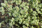 Scleranthus perennis L.