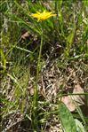 Scorzonera humilis L.