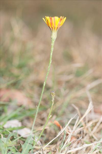 Scorzoneroides autumnalis (L.) Moench subsp. autumnalis