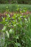 Scrophularia auriculata L.