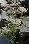 Photo 1/3 Scrophularia canina L.