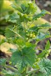 Photo 3/3 Scrophularia vernalis L.