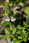 Photo 4/4 Scutellaria minor Huds.