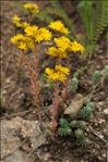 Photo 5/6 Sedum rupestre L.