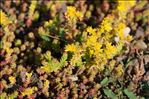 Photo 2/2 Sedum sexangulare L.
