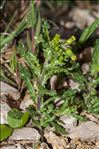 Photo 1/2 Senecio vulgaris L.