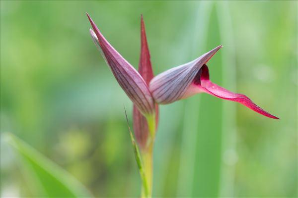 Serapias vomeracea (Burm.f.) Briq.