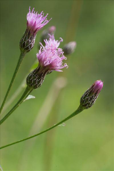 Serratula tinctoria subsp. seoanei (Willk.) Laínz