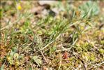 Sesamoides purpurascens (L.) G.López