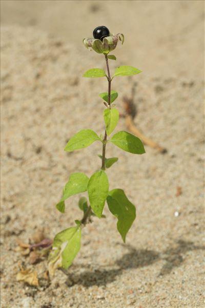 Silene baccifera (L.) Roth