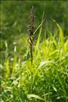 Photo 1/1 Melica altissima L.