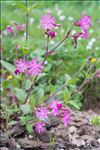 Photo 2/6 Silene dioica (L.) Clairv.