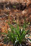 Asphodelus albus subsp. delphinensis (Gren. & Godr.) Z.Diaz & Valdés