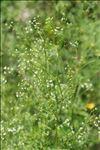 Photo 3/3 Sison amomum L.