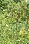 Photo 2/3 Sison amomum L.