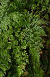 Asplenium adiantum-nigrum L. var. adiantum-nigrum