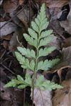 Asplenium adiantum-nigrum L.