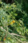 Photo 2/2 Solanum lycopersicum L.