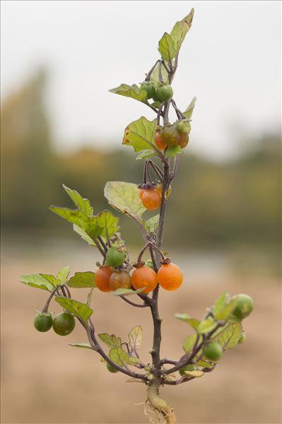Solanum villosum subsp. miniatum (Bernh. ex Willd.) Edmonds