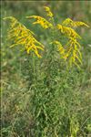 Photo 1/3 Solidago canadensis L.