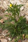 Photo 2/3 Sonchus asper (L.) Hill