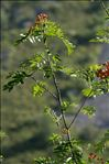 Photo 1/2 Sorbus aucuparia L.