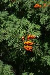 Photo 2/2 Sorbus aucuparia L.