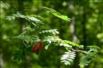 Photo 1/1 Sorbus domestica L.