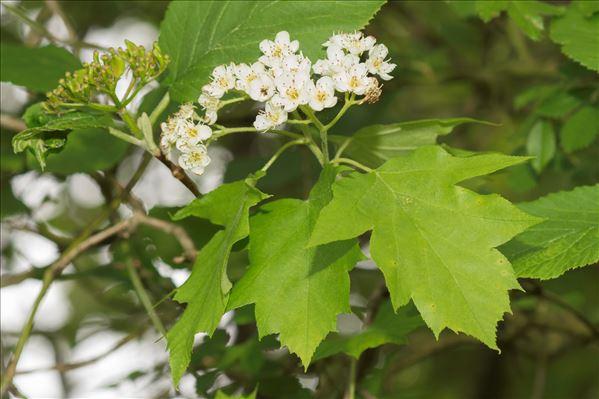 Sorbus torminalis (L.) Crantz