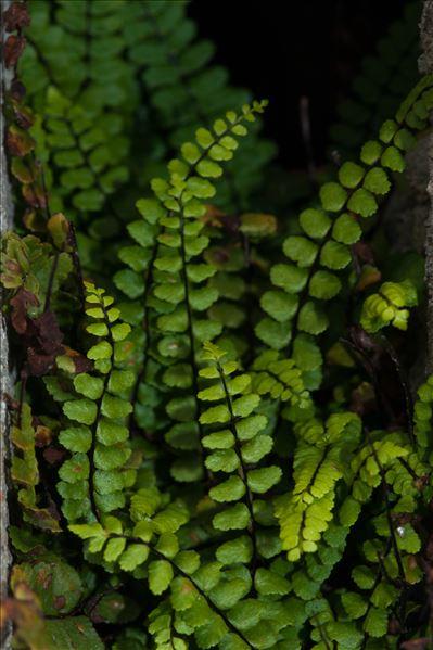 Asplenium trichomanes n-subsp. staufferi Lovis & Reichst.