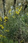 Spartium junceum L.