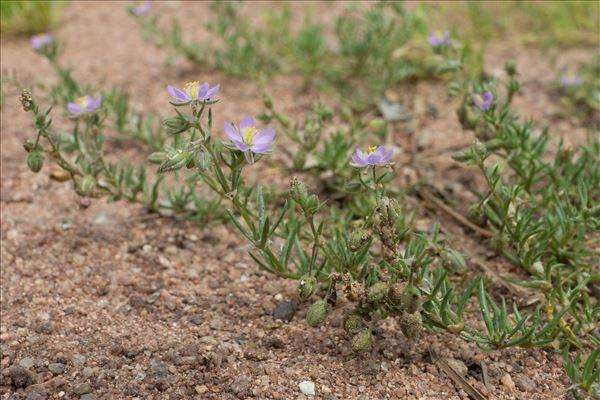 Spergula rubra (L.) D.Dietr.