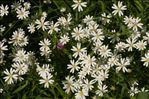 Photo 3/3 Stellaria holostea L.