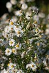 Photo 2/6 Symphyotrichum lanceolatum (Willd.) G.L.Nesom