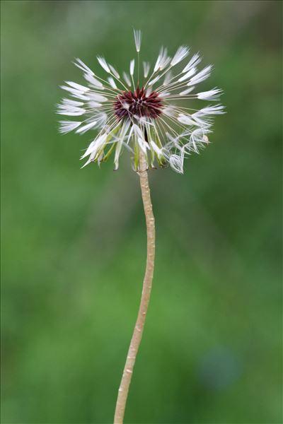 Taraxacum erythrospermum Andrz. ex Besser