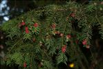 Photo 4/4 Taxus baccata L.